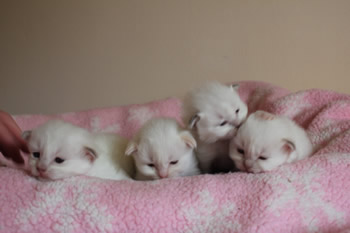 Kittens Available at Lalola Birmans in Andover Hampshire UK